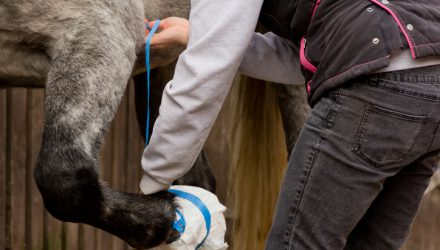 Close up shot of young woman taping up her horses hoof to keep poultice in place after horse has injured itself.